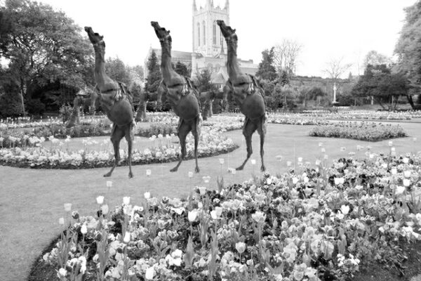 Performing Camels in the Abbey Gardens